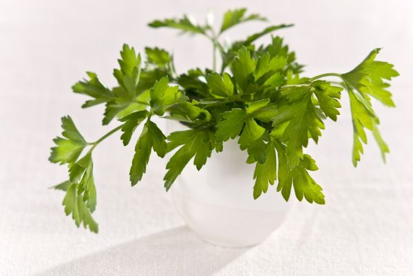Bunch of flat leaved parsley in white pot  credit: Marie-Louise Avery / thePictureKitchen / TopFoto, Image: 81922950, License: Rights-managed, Restrictions: , Model Release: no, Credit line: Profimedia, thePictureKitchen
