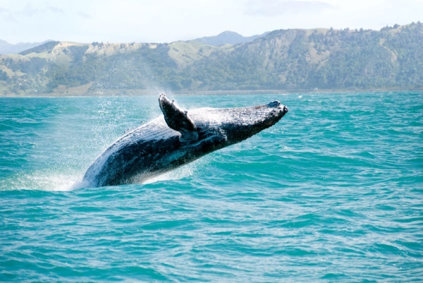 15224759 - massive humpback whale playing in water captured from whale whatching boat