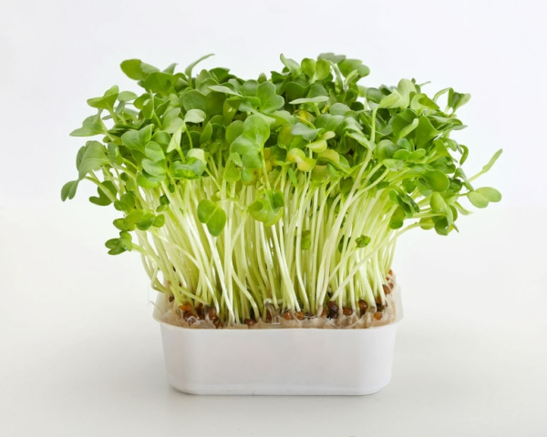 24273089 - fresh edible healthy green watercress in pot