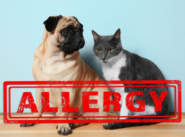 90614847 - animal allergy concept. cat and dog on blue background